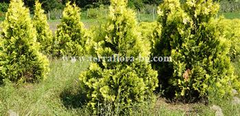 Туя окс. Европа (Thuja occ.Europe Gold))
